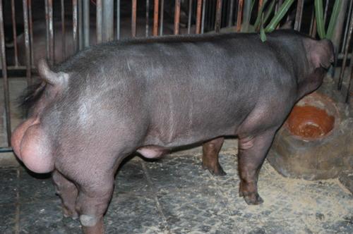 中央畜產會200803期D0178-10體型-全身相片