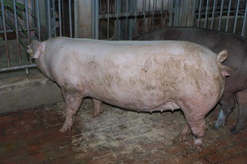 中央畜產會200803期L0325-12體型-全身相片