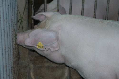 中央畜產會200803期L1638-02體型-頭頸相片