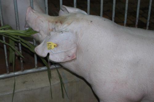 中央畜產會200803期L0325-03體型-頭頸相片
