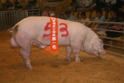 中央畜產會200803期Y0308-07拍賣照片(高價豬)
