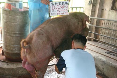 台灣種豬發展協會9708期D0234-02採精相片