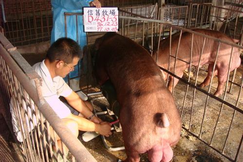 台灣種豬發展協會9708期D0431-05採精相片
