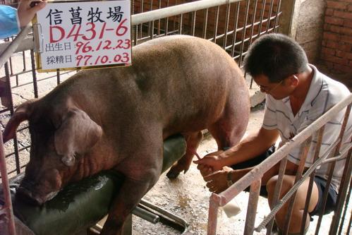 台灣種豬發展協會9708期D0431-06採精相片