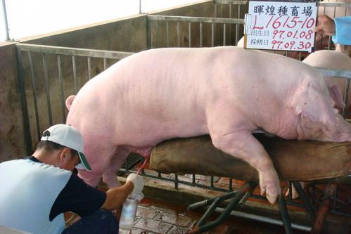 台灣種豬發展協會9708期L1615-10採精相片