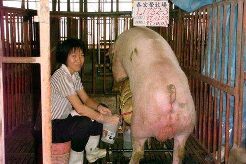 台灣種豬發展協會9708期L1752-03採精相片
