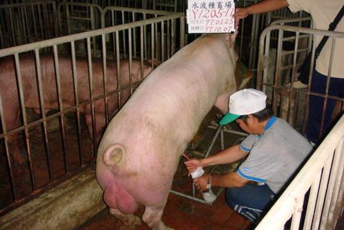 台灣種豬發展協會9708期Y1205-11採精相片