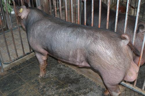 中央畜產會200804期D1334-02體型-全身相片