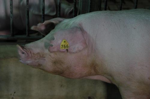 中央畜產會200804期L0770-09體型-頭頸相片
