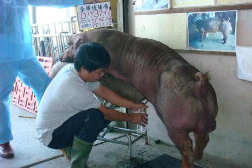 台灣種豬發展協會9709期D1939-11採精相片