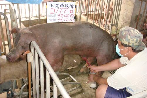台灣種豬發展協會9709期D0177-06採精相片