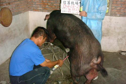 台灣種豬發展協會9709期D0415-02採精相片