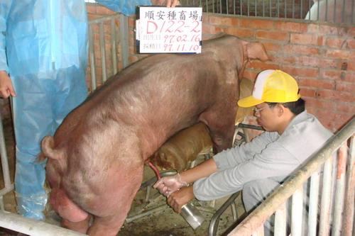 台灣種豬發展協會9709期D0122-02採精相片
