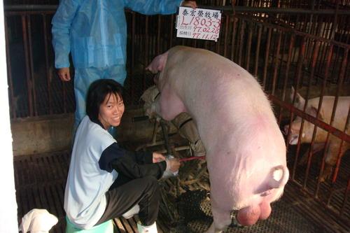 台灣種豬發展協會9709期L1803-03採精相片