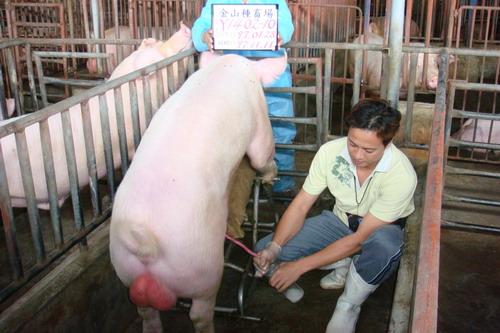 台灣種豬發展協會9709期Y1402-10採精相片