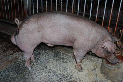 中央畜產會200805期D1335-02體型-全身相片