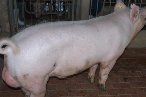 中央畜產會200805期Y1895-03體型-全身相片
