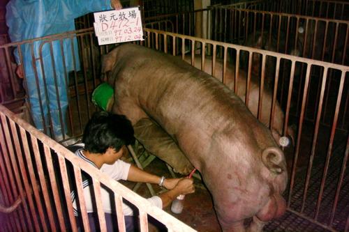台灣種豬發展協會9710期D0472-01採精相片