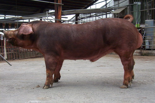 台灣種豬發展協會9710期D1811-03採精相片