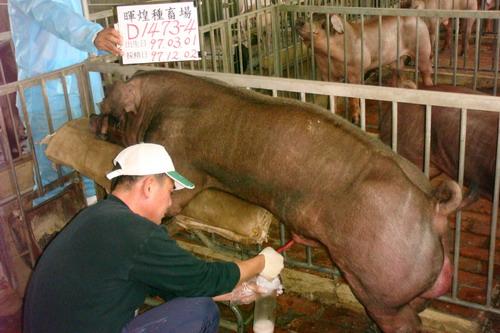 台灣種豬發展協會9710期D1473-04採精相片