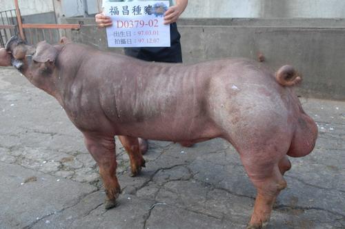 台灣種豬發展協會9710期D0379-02側面相片