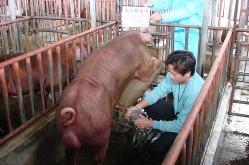台灣種豬發展協會9710期D1273-11採精相片