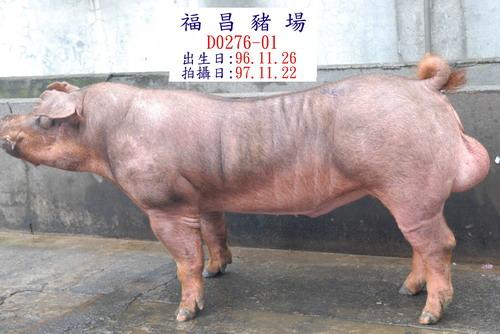 台灣種豬發展協會9710期D0276-01側面相片