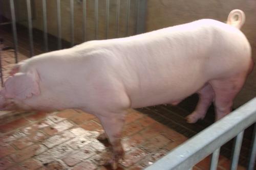 台灣種豬發展協會9710期L1648-12側面相片
