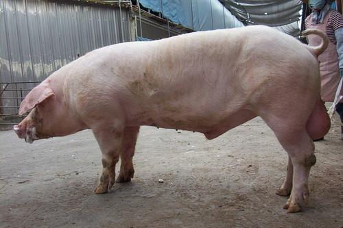 台灣種豬發展協會9710期L1826-09採精相片