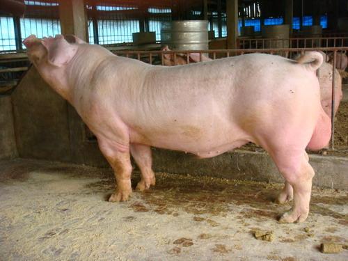 台灣種豬發展協會9710期L0070-10側面相片