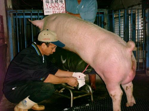 台灣種豬發展協會9710期Y0333-02採精相片