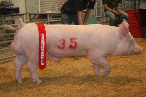 台灣種豬發展協會9710期Y0311-07拍賣相片-高價豬