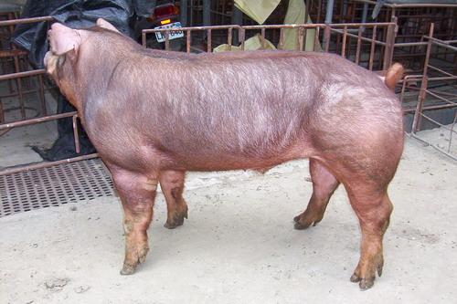 台灣種豬發展協會9801期D1883-01側面相片