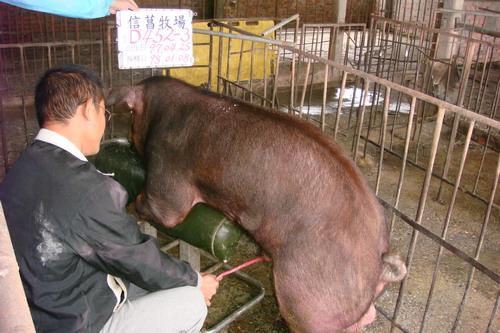 台灣種豬發展協會9801期D0452-03採精相片