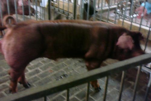 台灣種豬發展協會9801期D0494-02側面相片