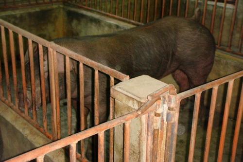 台灣種豬發展協會9801期D0471-02側面相片