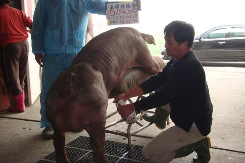 台灣種豬發展協會9801期D1943-10採精相片