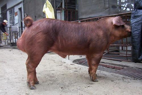 台灣種豬發展協會9801期D1889-03拍賣影片