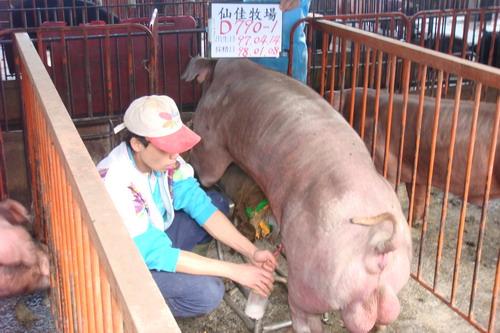 台灣種豬發展協會9801期D0790-01採精相片