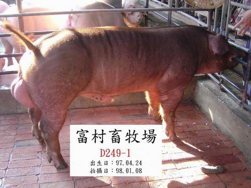 台灣種豬發展協會9801期D0249-01側面相片