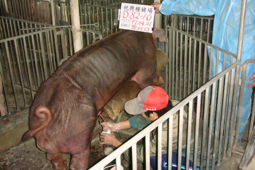 台灣種豬發展協會9801期D0082-10採精相片
