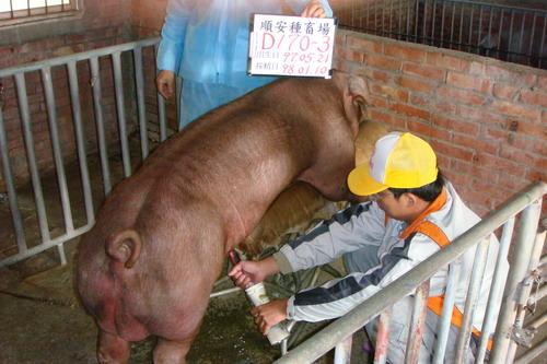 台灣種豬發展協會9801期D0170-03採精相片