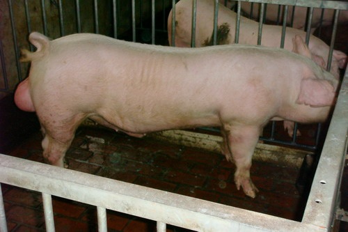 台灣種豬發展協會9801期L1662-11側面相片