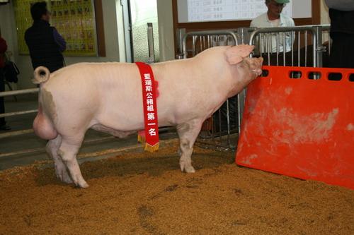 台灣種豬發展協會9801期L1869-04拍賣相片-高價豬