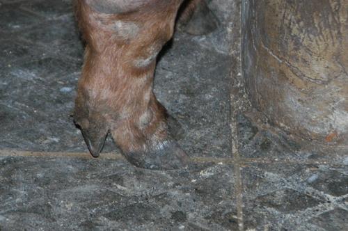 中央畜產會200807期D1526-02體型-四肢相片