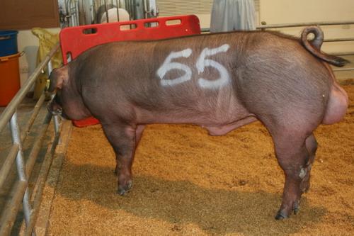 中央畜產會200807期D1524-03拍賣照片(高價豬)