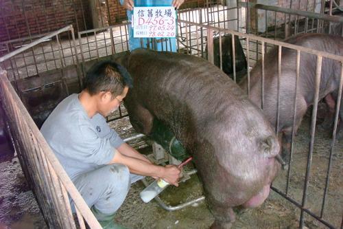 台灣種豬發展協會9802期D0456-03採精相片