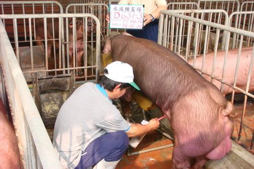 台灣種豬發展協會9802期D0631-03採精相片