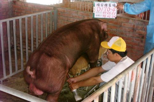 台灣種豬發展協會9802期D0170-04採精相片