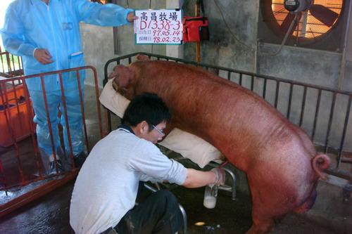 台灣種豬發展協會9802期D1338-03採精相片
